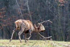 Бой оленей косуль корень дерева стоковое фото rf