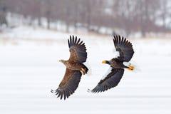 Бой орла Бой орла с рыбами Сцена зимы, хищные птицы Большие орлы, море снега Орел Бело-замкнутый полетом, Хоккаидо, Япония, стоковые фото