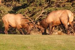 Бой лося Bull Стоковая Фотография RF