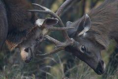 2 бой оленей sambar Стоковое фото RF