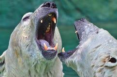 Бой полярного медведя Стоковые Фото