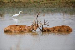 Бой самцов оленя оленей Barasingha стоковые изображения