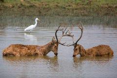 Бой самцов оленя оленей Barasingha стоковая фотография