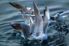 Бой чайок Стоковая Фотография RF