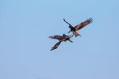 2 бой черных змея Стоковая Фотография