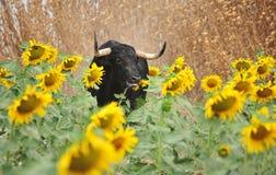 Бой Bull в Испании в арене стоковые фотографии rf