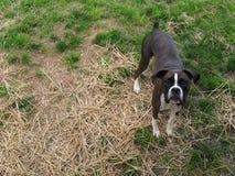 Боксер в траве Стоковое Фото