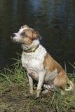 Боксер, терьер, лаборатория, смешал собаку породы Стоковая Фотография RF
