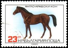 БОЛГАРИЯ - ОКОЛО 1980: штемпель, напечатанный в Болгарии, показывает лошадь Англо-аравийца иллюстрация штока