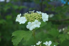 Более белые цветки для будущих ягод Стоковая Фотография