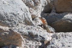 более близкое gekko Стоковые Фото