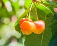 Более ненастные вишни вися на сборе ветви приправляют на Yakima Vall стоковые изображения