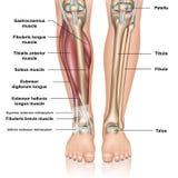 Более низкая иллюстрация вектора анатомии 3d ноги медицинская на белой предпосылке бесплатная иллюстрация