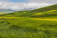 Более обширная ширь пшеницы и рапс цветут Стоковые Фотографии RF