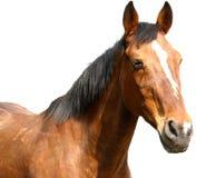 более старая лошадь Стоковая Фотография
