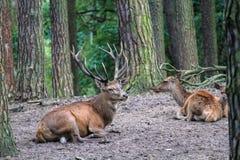 """Более старое рогач оленей с зрелым  """"horn†при несколько antlers распологая в группу Стоковые Изображения RF"""
