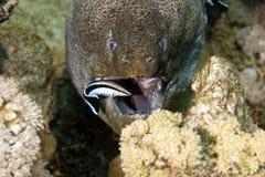 более чистый гигантский moray javanicus gymnothorax Стоковая Фотография