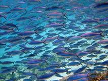 более fusilier Красное Море Стоковые Изображения