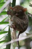 более tarsier вал Стоковое фото RF