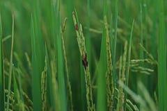 Болезнь растения, грибковое заболевание на зерне риса стоковые изображения rf