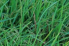Болезнь растения, грибковое заболевание на зерне риса стоковая фотография rf