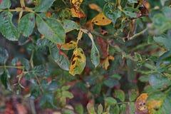 Болезнь растения, грибковые листья заболевание пятна на розах причиняет повреждение на подняла стоковое изображение rf