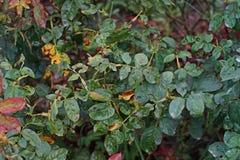 Болезнь растения, грибковые листья заболевание пятна на розах причиняет повреждение на подняла стоковые изображения rf