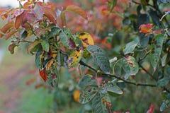 Болезнь растения, грибковые листья заболевание пятна на розах причиняет повреждение на подняла стоковое фото rf