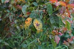 Болезнь растения, грибковые листья заболевание пятна на розах причиняет повреждение на подняла стоковая фотография