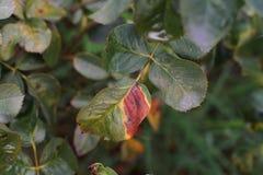 Болезнь растения, грибковые листья заболевание пятна на розах причиняет повреждение на подняла стоковое фото