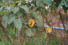 Болезнь растения, грибковые листья заболевание пятна на розах причиняет повреждение на подняла стоковая фотография rf