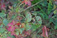 Болезнь растения, грибковые листья заболевание пятна на розах причиняет повреждение на подняла стоковые фотографии rf