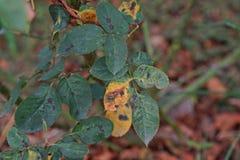 Болезнь растения, грибковые листья заболевание пятна на розах причиняет повреждение на подняла стоковые изображения
