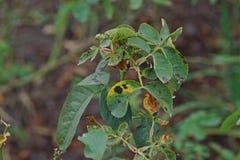 Болезнь растения, грибковые листья заболевание пятна на розах причиняет повреждение на подняла стоковое изображение