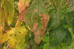 Болезнь растения, заболевание лист фасоли двора длинное от грибков стоковая фотография rf