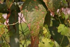 Болезнь растения, заболевание лист фасоли двора длинное от грибков стоковая фотография