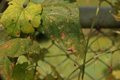 Болезнь растения, заболевание лист фасоли двора длинное от грибков стоковые фотографии rf