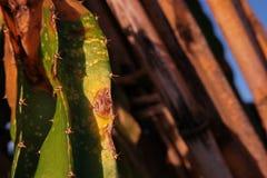 Болезнь растения, заболевание плодоовощ дракона от грибков стоковые изображения rf