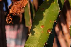 Болезнь растения, заболевание плодоовощ дракона от грибков стоковое изображение rf