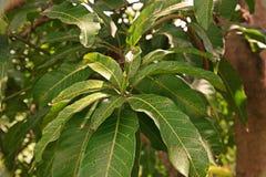 Болезнь растения, манго выходит заболевание, антракноз стоковая фотография
