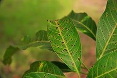Болезнь растения, манго выходит заболевание стоковые изображения rf