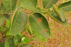 Болезнь растения, canker цитруса infested на лист известки стоковые изображения rf