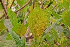 Болезнь растения, plumeria выходит заболевание стоковое фото