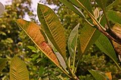Болезнь растения, plumeria выходит заболевание стоковая фотография rf