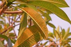 Болезнь растения, plumeria выходит заболевание стоковые изображения
