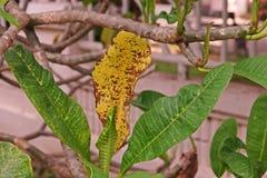 Болезнь растения, plumeria выходит заболевание стоковое фото rf