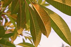 Болезнь растения, plumeria выходит заболевание стоковое изображение rf