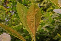 Болезнь растения, plumeria выходит заболевание стоковое изображение