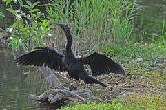 болотистые низменности птицы anhinga Стоковое Фото