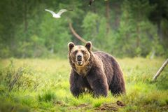 Болото бурого медведя i смотря в камеру Стоковые Изображения